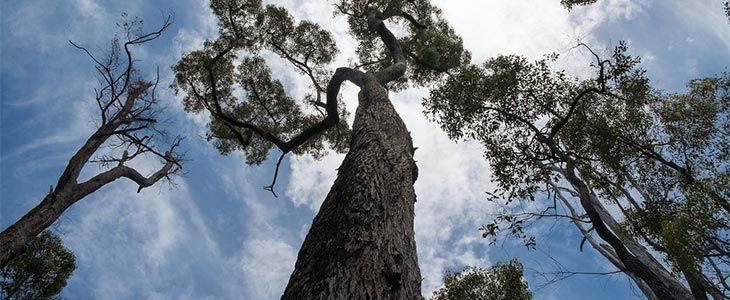 balau tree